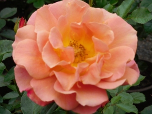 Peach Rose (author's collection)