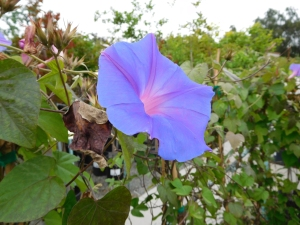 "Blue ""Morning Glory"" (author's photo)"